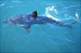 Salmon shark. Photo courtesy NOAA