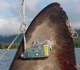 Transmitter on the dorsal fin of a salmon shark, used to track vertical and horizontal migration. Image courtesy National Marine Fisheries Service