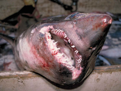 Close-up of the jaw of a salmon shark. Photo courtesy National Marine Fisheries Service