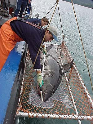 Researchers working with a salmon shark. Photo courtesy National Marine Fisheries Service