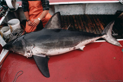 Salmon shark. Photo courtesy Virginian Institute of Marine Science