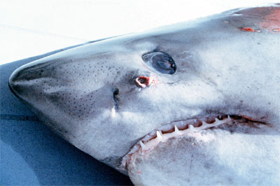 Salmon shark up-close. Photo courtesy Virginian Institute of Marine Science