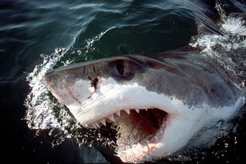 The white shark may prey on juvenile salmon sharks where their ranges overlap. Photo © Klaus Jost