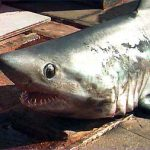 Porbeagle head, also notice the white free rear tip of the dorsal fin. Photo courtesy NOAA