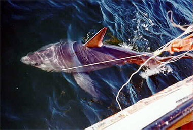 Regulated fisheries for the porbeagle exist in Norway and Canada. Photo courtesy NOAA