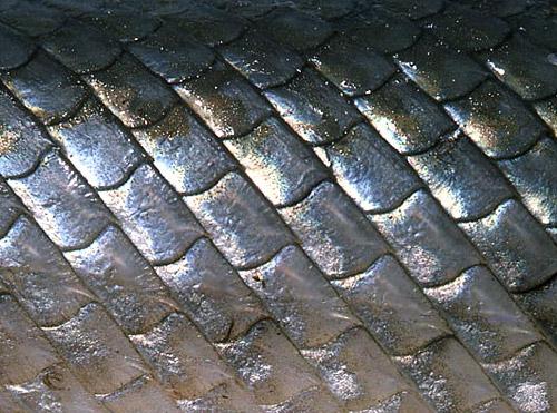Longnose gar have rhomboidal ganoid scales. Photo © George Burgess