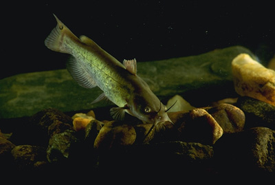Brown bullhead catfish are among the numerous prey items of the longnose gar. Photo courtesy USDA Photo/Ken Hammond