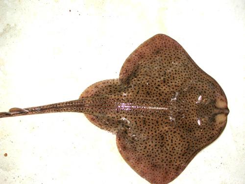 Winter skates have many roundish dark spots on the dorsal surface. Photo © James Sulikowski