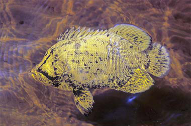 Tripletail. Photo © David Snyder