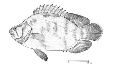 Line drawing of a tripletail. Courtesy © FAO