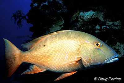 Mutton snapper. Photo © Doug Perrine