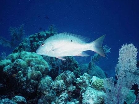 Mutton snappers live near reef habitats. Photo courtesy NOAA