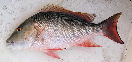Mutton snapper. Photo © John Soward