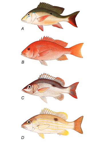 Comparison of snappers: A. mutton snapper (L. analis), B. northern red snapper (L. campechanus), C. mahogany snapper (L. mahogoni), D. Lane snapper (L. synagris). Image courtesy FAO Species Catalog, Vol. 6 Snappers of the World