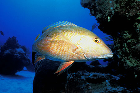 Mutton snapper photographed off the Cayman Islands. Photo © Doug Perrine