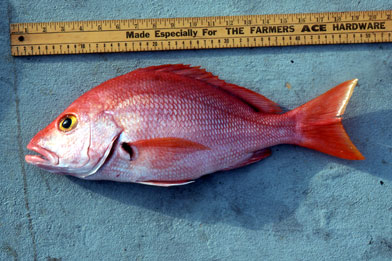 Blackfin snapper. Photo © George Burgess