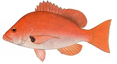 Blackfin snapper illustration showing the distinctive comma-shaped mark at the base of the pectoral fins. Image courtesy FAO Species Catalogue: Vol. 6 Snappers of the World
