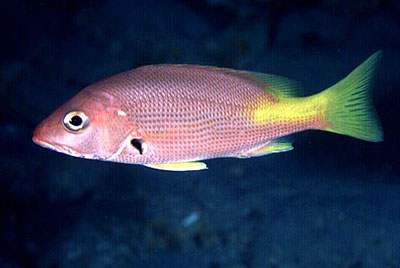 Juvenile blackfin snapper. Photo © David Snyder