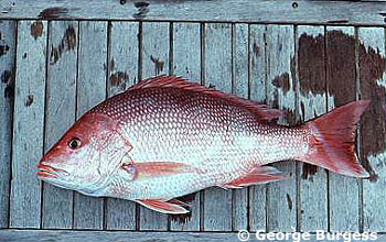 Northern red snapper. Photo © George Burgess