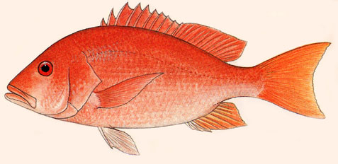 Northern red snapper. Image courtesy FAO Species Catalogue - Vol. 6 Snappers of the World (1985)