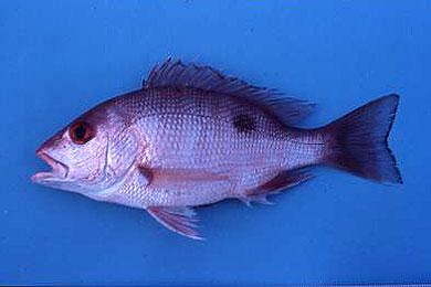 Lutjanus campechanus – Discover Fishes