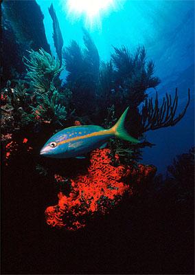 Yellowtail snapper. Image courtesy Jim Raymont / Florida Keys NMS