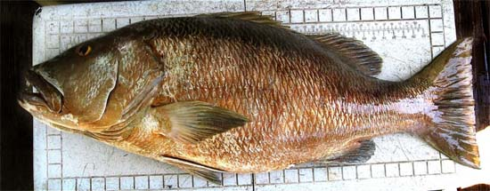 Cubera snapper. Photo © John Soward