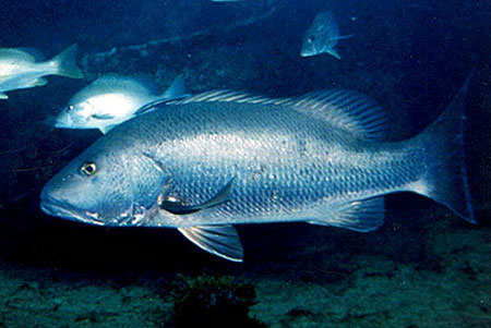 Cubera snapper. Photo © Luiz Rocha