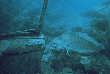 Gray snapper residing near a wreck. Photo courtesy NOAA