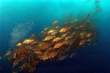 Spawning aggregation of dog snapper in the waters off Belize. Photo © Doug Perrine