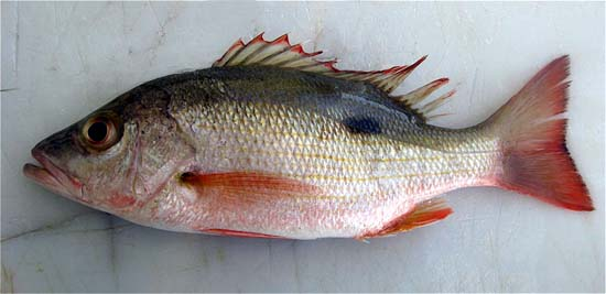 Mahogany snapper. Photo © John Soward
