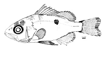 Mahogany snapper larvae (19.5 mm SL). Illustration courtesy NOAA Technical Memorandum NMFS-SEFSC-345