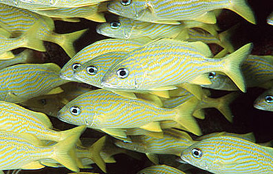 Mahogany snappers feed on small fishes including grunts such as these French grunts (Haemulon flavolineatum). Photo © Doug Perrine