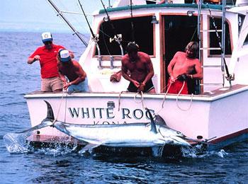 Bringing in a black marlin (Makaira indica), a close relative of the blue marlin. Photo courtesy NOAA