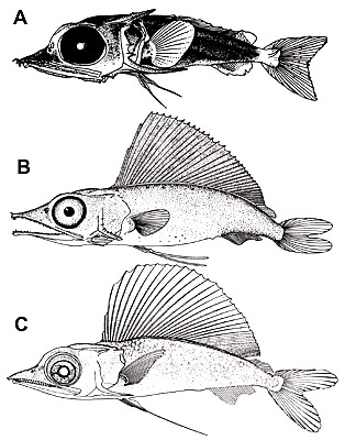 Blue marlin larvae, A. 12.6 mm, B. 21.0 mm, C. 22.1 mm. Illustrations courtesy Strasburg (1970), Gehringer (1956), and Bartlett et al. (1968) in Development of Fishes of the Mid-Atlantic Bight - U.S. Fish and Wildlife Service