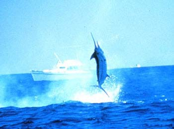 Blue marlin breaking the water's surface. Photo courtesy NOAA