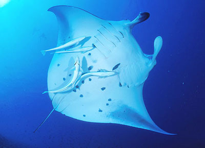 Ventral view of a manta accompanied by remoras. Image © Steve Jones
