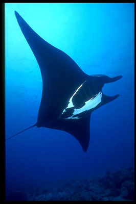 Manta displaying distinctive color patterns. Image © Donald Tipton