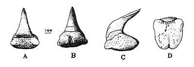 Megamouth tooth in A, lingual; B lingual; C lateral; and D, basal views. Image courtesy Compagno (1990) NOAA Tech. Rep. NMFS 90
