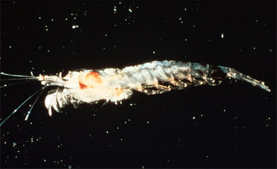 The megamouth feeds on large quantities of krill. Photo courtesy NOAA