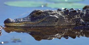 Alligator. Photo courtesy South Florida Water Management District