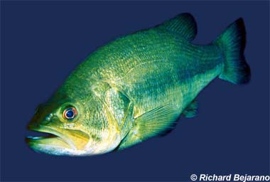 Largemouth bass. Photo © Richard Bejarano