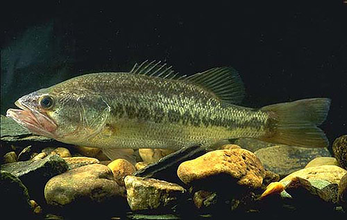 Largemouth bass are dark to light green in color with lighter sides and a whitish colored belly. Photo courtesy U.S. Department of Agriculture