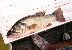 The average length of the largemouth bass is 18 inches. Photo courtesy U.S. Geological Survey