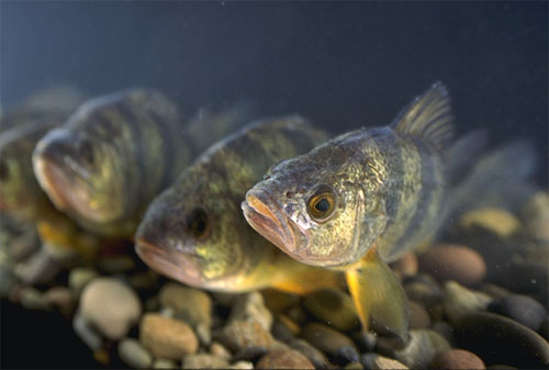 Yellow perch is a known predator of juvenile largemouth bass. Photo courtesy U.S. Department of Agriculture