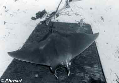 Atlantic Devil Ray, Image © Ehrhart