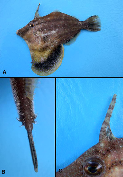 Fringed filefish: A - Body, B- caudal peduncle spines, C- spine crowning the head. Image © George Burgess