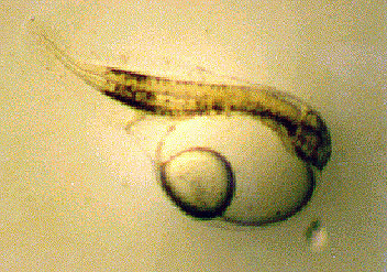 Newly hatched mullet larva. Image courtesy NOAA