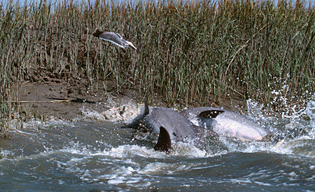 Mullet leap out of the water to avoid predation by bottlenose dolphins. Image © Doug Perrine
