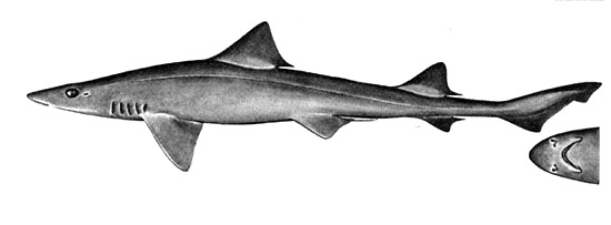 Grey smooth-hound. Illustration courtesy Field Guide to Eastern Pacific and Hawaiian Sharks, U.S. Fish and Wildlife Service 1967